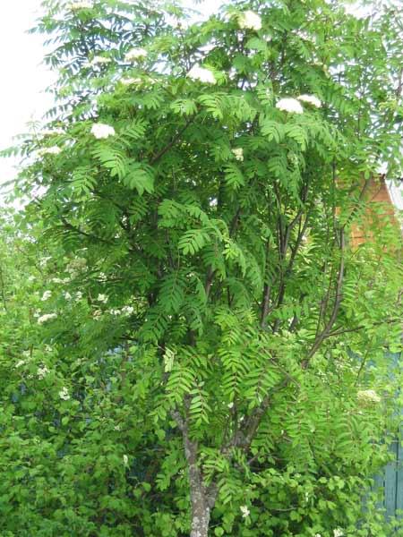 Деревья рябина съедобная